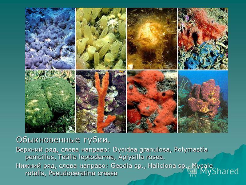 Обыкновенные губки. Верхний ряд, слева направо: Dysidea granulosa, Polymastia penicillus, Tetilla leptoderma, Aplysilla rosea. Нижний ряд, слева направо: Geodia sp., Haliclona sp., Mycale rotalis, Pseudoceratina crassa