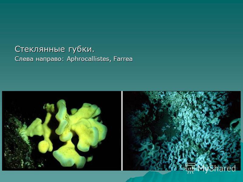 Стеклянные губки. Слева направо: Aphrocallistes, Farrea