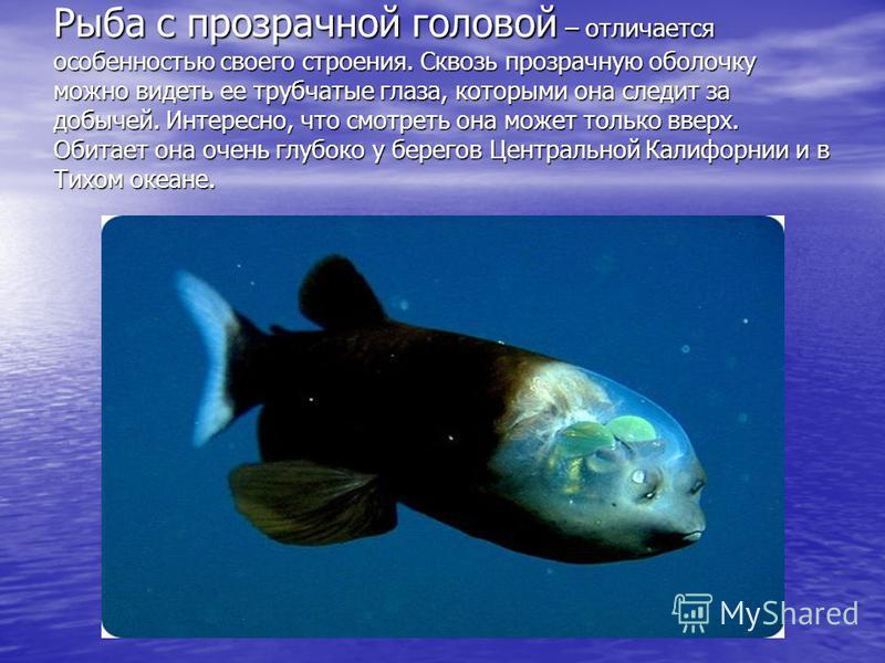 Рыба с прозрачной головой – отличается особенностью своего строения. Сквозь прозрачную оболочку можно видеть ее трубчатые глаза, которыми она следит за добычей. Интересно, что смотреть она может только вверх. Обитает она очень глубоко у берегов Центр