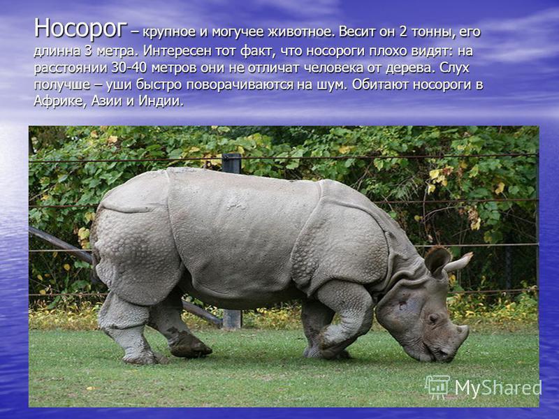 Носорог – крупное и могучее животное. Весит он 2 тонны, его длинна 3 метра. Интересен тот факт, что носороги плохо видят: на расстоянии 30-40 метров они не отличат человека от дерева. Слух получше – уши быстро поворачиваются на шум. Обитают носороги