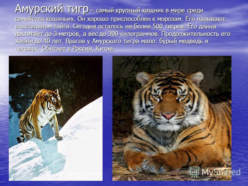 Амурский тигр – самый крупный хищник в мире среди семейства кошачьих. Он хорошо приспособлен к морозам. Его называют властелином тайги. Сегодня осталось не более 500 тигров. Его длина достигает до 3 метров, а вес до 300 килограммов. Продолжительность