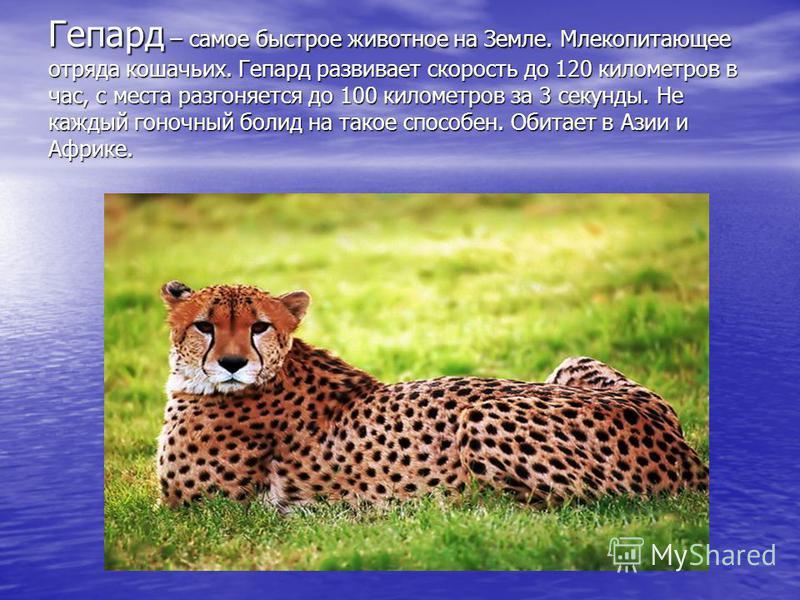 Гепард – самое быстрое животное на Земле. Млекопитающее отряда кошачьих. Гепард развивает скорость до 120 километров в час, с места разгоняется до 100 километров за 3 секунды. Не каждый гоночный болид на такое способен. Обитает в Азии и Африке.
