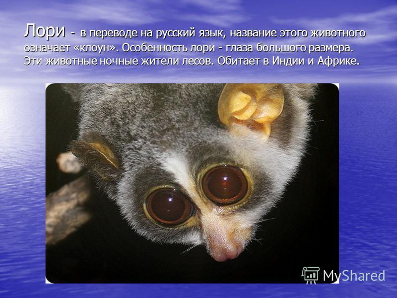 Лори - в переводе на русский язык, название этого животного означает «клоун». Особенность лори - глаза большого размера. Эти животные ночные жители лесов. Обитает в Индии и Африке.