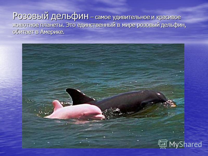 Розовый дельфин – самое удивительное и красивое животное планеты. Это единственный в мире розовый дельфин, обитает в Америке.