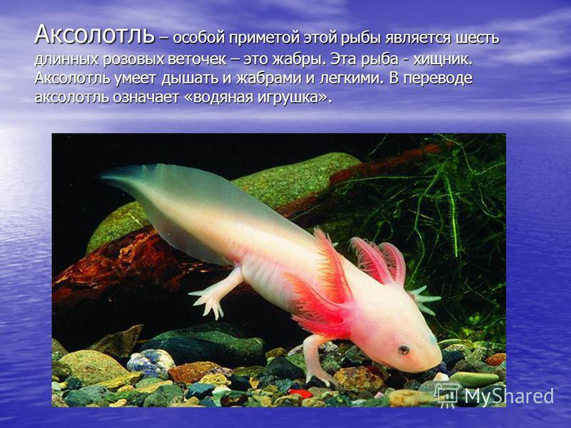 Аксолотль – особой приметой этой рыбы является шесть длинных розовых веточек – это жабры. Эта рыба - хищник. Аксолотль умеет дышать и жабрами и легкими. В переводе аксолотль означает «водяная игрушка».