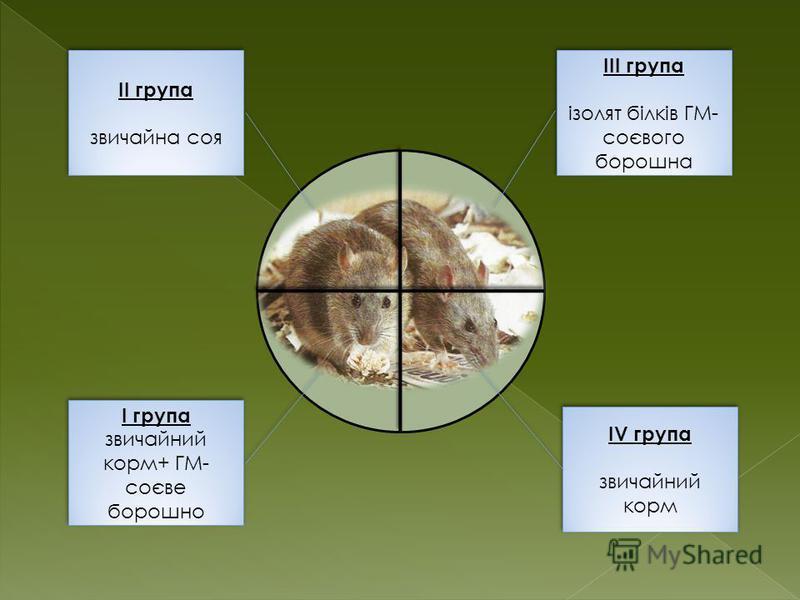 ІІ група звичайна соя ІІ група звичайна соя ІІІ група ізолят білків ГМ- соєвого борошна ІІІ група ізолят білків ГМ- соєвого борошна І група звичайний корм+ ГМ- соєве борошно І група звичайний корм+ ГМ- соєве борошно ІV група звичайний корм ІV група з
