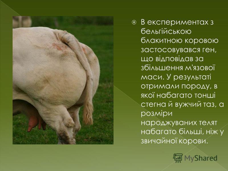 В експериментах з бельгійською блакитною коровою застосовувався ген, що відповідав за збільшення м'язової маси. У результаті отримали породу, в якої набагато тонші стегна й вужчий таз, а розміри народжуваних телят набагато більші, ніж у звичайної кор