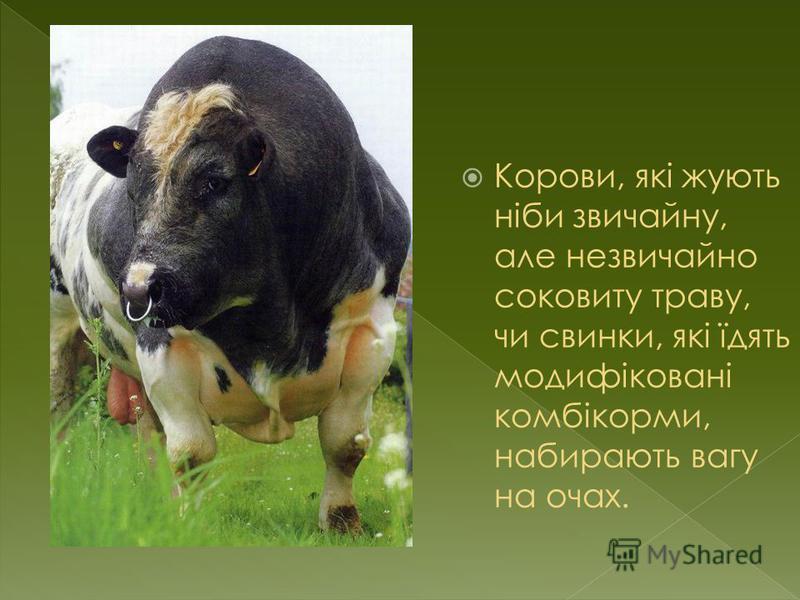 Корови, які жують ніби звичайну, але незвичайно соковиту траву, чи свинки, які їдять модифіковані комбікорми, набирають вагу на очах.