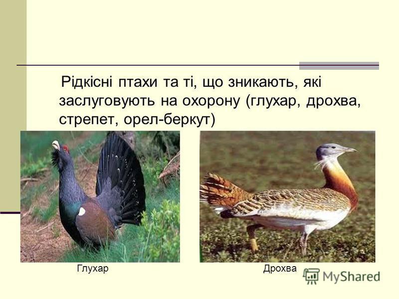 Рідкісні птахи та ті, що зникають, які заслуговують на охорону (глухар, дрохва, стрепет, орел-беркут) Глухар Дрохва