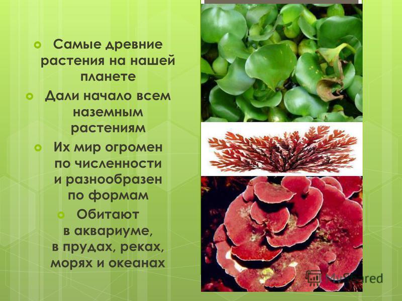 Самые древние растения на нашей планете Дали начало всем наземным растениям Их мир огромен по численности и разнообразен по формам Обитают в аквариуме, в прудах, реках, морях и океанах