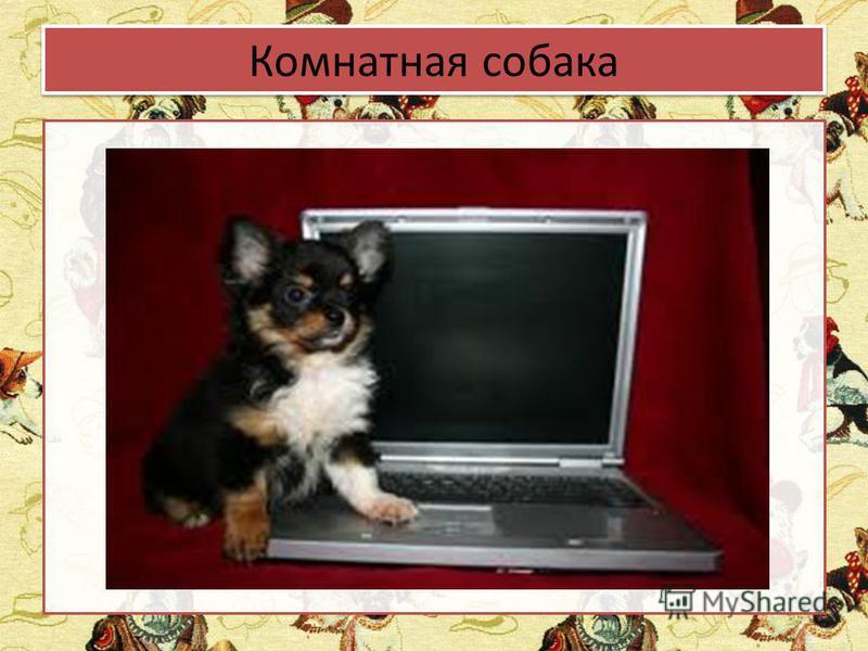 Комнатная собака