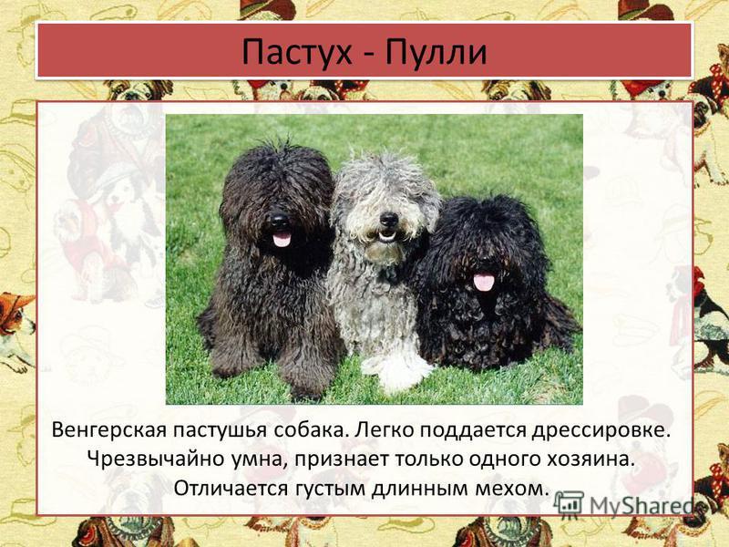 Пастух - Пулли Венгерская пастушья собака. Легко поддается дрессировке. Чрезвычайно умна, признает только одного хозяина. Отличается густым длинным мехом.