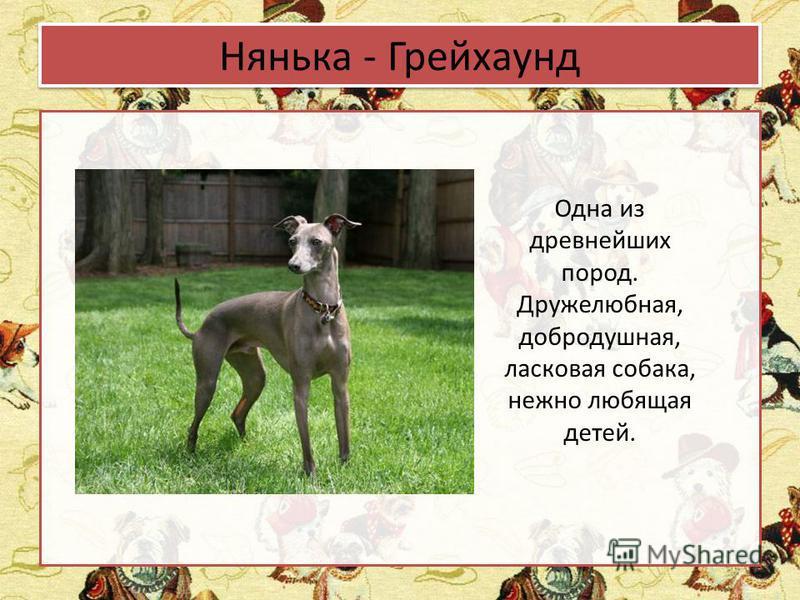 Нянька - Грейхаунд Одна из древнейших пород. Дружелюбная, добродушная, ласковая собака, нежно любящая детей.