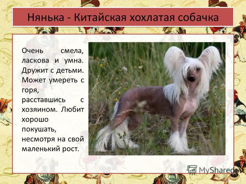 Нянька - Китайская хохлатая собачка Очень смела, ласкова и умна. Дружит с детьми. Может умереть с горя, расставшись с хозяином. Любит хорошо покушать, несмотря на свой маленький рост.