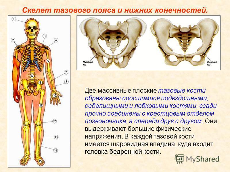 Скелет верхних конечностей состоит из трех отделов: плеча, предплечья и кисти. Плечо имеет лишь одну плечевую кость. Ее верхняя часть шарообразная головка помещается в полушаровидной ямке лопатки. Предплечье образовано двумя костями: локтевой и лучев