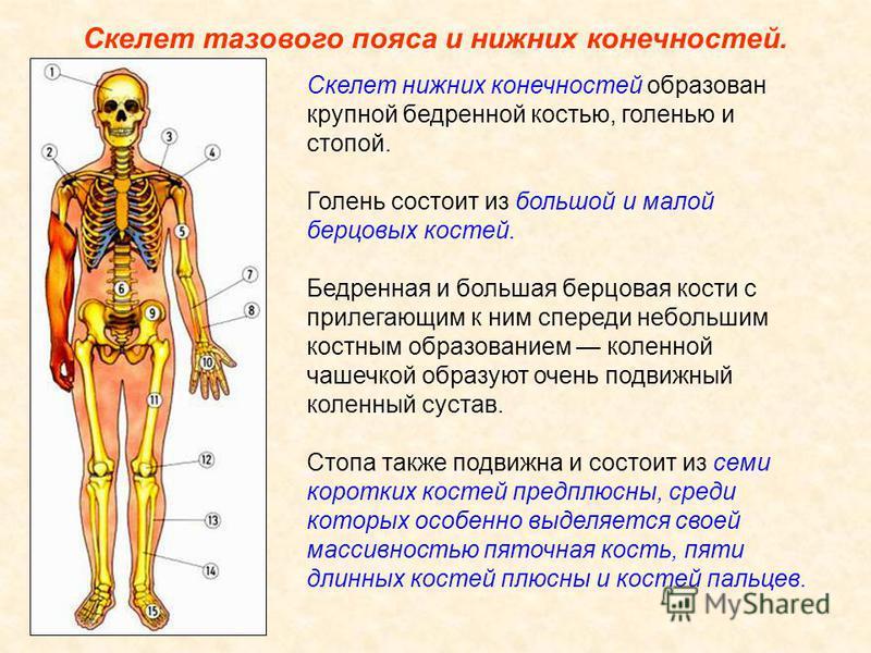 Скелет тазового пояса и нижних конечностей. Две массивные плоские тазовые кости образованы сросшимися подвздошными, седалищными и лобковыми костями, сзади прочно соединены с крестцовым отделом позвоночника, а спереди друг с другом. Они выдерживают бо