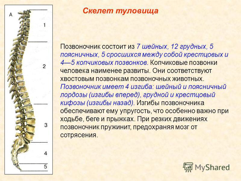 Скелет туловища Скелет туловища включает позвоночник и грудную клетку. Череп соединяется с позвоночником, являющимся основой скелета туловища. Позвоночник образован 33 34 позвонками. Позвонки состоят из тела самой массивной части позвонка, дуги и нес