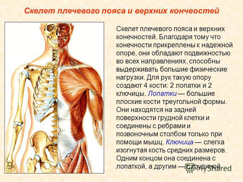 Скелет туловища Грудная клетка образована грудными позвонками, 12 парами ребер и плоской грудной костью, или грудиной. Ребра представляют собой плоские изогнутые дугою кости. Их задние концы подвижно соединены с грудными позвонками. Первые семь пар р