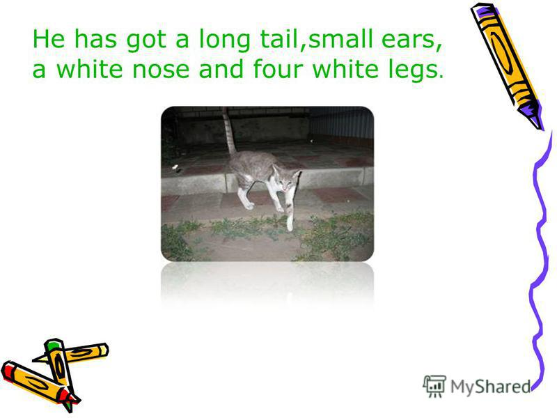 He has got a long tail,small ears, a white nose and four white legs.