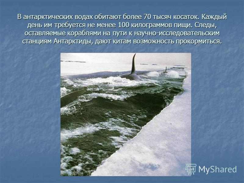 В антарктических водах обитают более 70 тысяч косаток. Каждый день им требуется не менее 100 килограммов пищи. Следы, оставляемые кораблями на пути к научно-исследовательским станциям Антарктиды, дают китам возможность прокормиться.