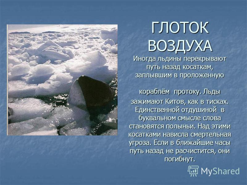 ГЛОТОК ВОЗДУХА Иногда льдины перекрывают путь назад косаткам, заплывшим в проложенную кораблём протоку. Льды зажимают Китов, как в тисках. Единственной отдушиной в буквальном смысле слова становятся полыньи. Над этими косатками нависла смертельная уг