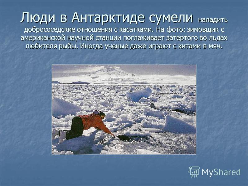 Люди в Антарктиде сумели наладить добрососедские отношения с касатками. На фото: зимовщик с американской научной станции поглаживает затертого во льдах любителя рыбы. Иногда ученые даже играют с китами в мяч.