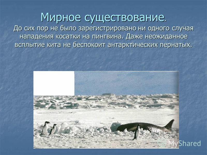 Мирное существование. До сих пор не было зарегистрировано ни одного случая нападения косатки на пингвина. Даже неожиданное всплытие кита не беспокоит антарктических пернатых.