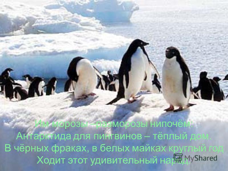 Им морозы –раз морозы нипочём: Антарктида для пингвинов – тёплый дом. В чёрных фраках, в белых майках круглый год Ходит этот удивительный народ.