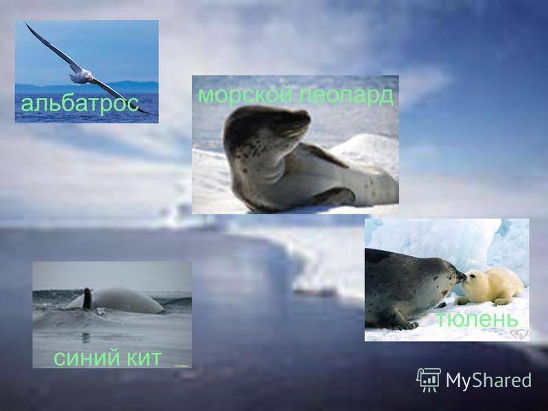 синий кит тюлень морской леопард альбатрос