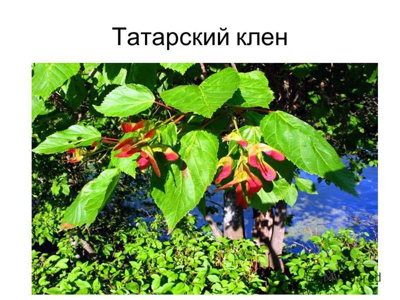Татарский клен