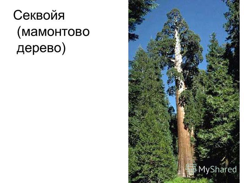 Секвойя (мамонтово дерево)