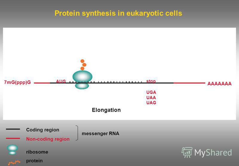 Protein synthesis in eukaryotic cells Coding region Non-coding region ribosome messenger RNA protein 7mG(ppp)G AAAAAAA AUG stop UGA UAA UAG Elongation