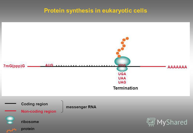 Protein synthesis in eukaryotic cells Termination Coding region Non-coding region ribosome messenger RNA protein 7mG(ppp)G AAAAAAA AUG stop UGA UAA UAG