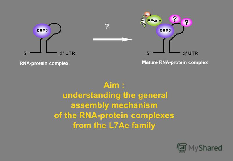 Aim : understanding the general assembly mechanism of the RNA-protein complexes from the L7Ae family EFsec sec ? RNA-protein complex 3 UTR5 SBP2 3 UTR5 SBP2 Mature RNA-protein complex ? ?