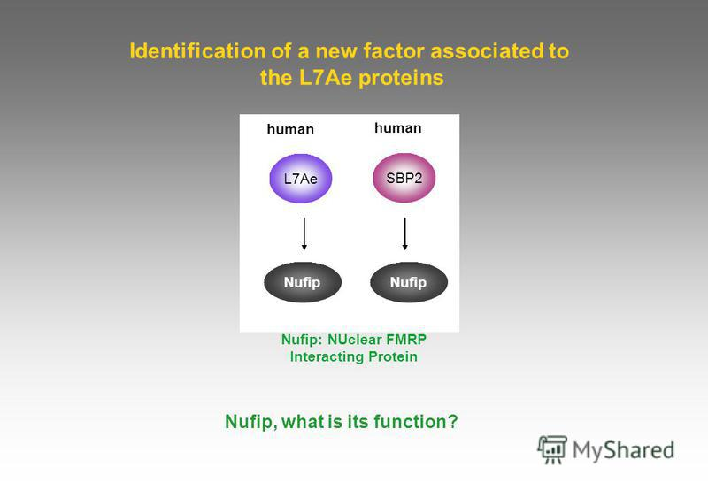 Identification of a new factor associated to the L7Ae proteins Nufip, what is its function? human Nufip human L7Ae Nufip Nufip: NUclear FMRP Interacting Protein SBP2