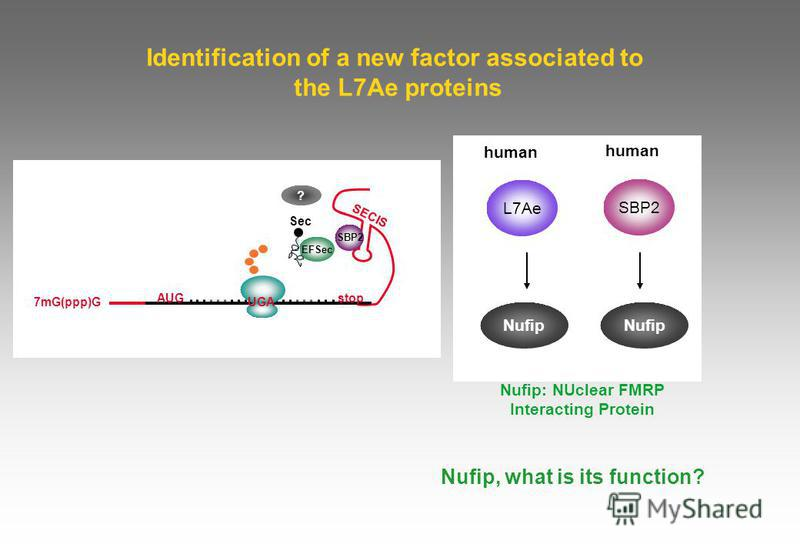 Identification of a new factor associated to the L7Ae proteins human Nufip human L7Ae Nufip Nufip, what is its function? Nufip: NUclear FMRP Interacting Protein 7mG(ppp)G AUG EFSec UGA Sec SBP2 ? stop SECIS SBP2