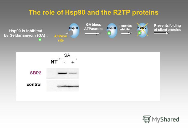 The role of Hsp90 and the R2TP proteins SBP2 GFP-15.5K GFP-hNhp2 GA control GA blocs ATPase site Hsp90 Hsp90 is inhibited by Geldanamycin (GA) : Prevents folding of client proteins ATPase site Hsp90 Function inhibited