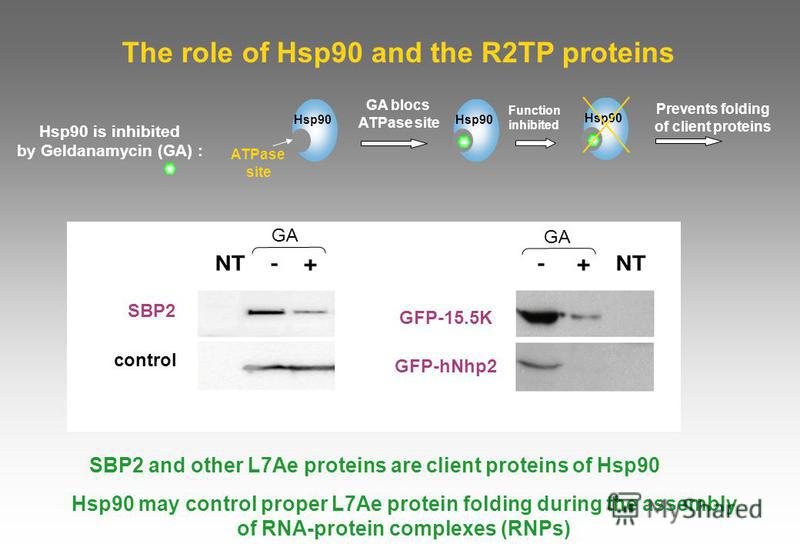 The role of Hsp90 and the R2TP proteins Hsp90 may control proper L7Ae protein folding during the assembly of RNA-protein complexes (RNPs) SBP2 GFP-15.5K GFP-hNhp2 GA control SBP2 and other L7Ae proteins are client proteins of Hsp90 GA blocs ATPase si