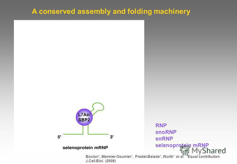 RNP snoRNP snRNP selenoprotein mRNP A conserved assembly and folding machinery L7Ae/ SBP2 Boulon*, Marmier-Gourrier*, Pradet-Balade*, Wurth* et al. *Equal contribution J.Cell.Biol. (2008)