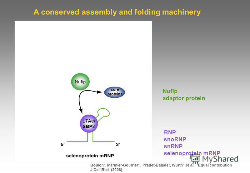 RNP snoRNP snRNP selenoprotein mRNP Nufip adaptor protein A conserved assembly and folding machinery L7Ae/ SBP2 Boulon*, Marmier-Gourrier*, Pradet-Balade*, Wurth* et al. *Equal contribution J.Cell.Biol. (2008) core proteins Nufip
