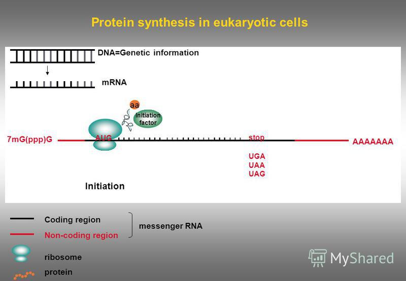 Protein synthesis in eukaryotic cells DNA=Genetic information mRNA Coding region Non-coding region ribosome messenger RNA protein Initiation 7mG(ppp)G AAAAAAA AUG stop UGA UAA UAG Initiation factor aa