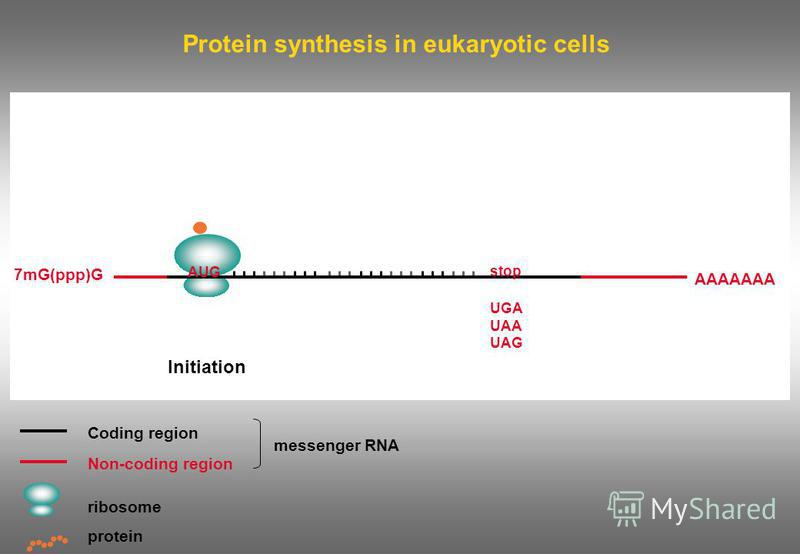 Protein synthesis in eukaryotic cells Coding region Non-coding region ribosome messenger RNA protein Initiation 7mG(ppp)G AAAAAAA AUG stop UGA UAA UAG
