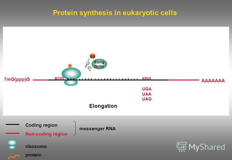 Protein synthesis in eukaryotic cells Coding region Non-coding region ribosome messenger RNA protein 7mG(ppp)G AAAAAAA AUG stop UGA UAA UAG Elong factor aa Elongation