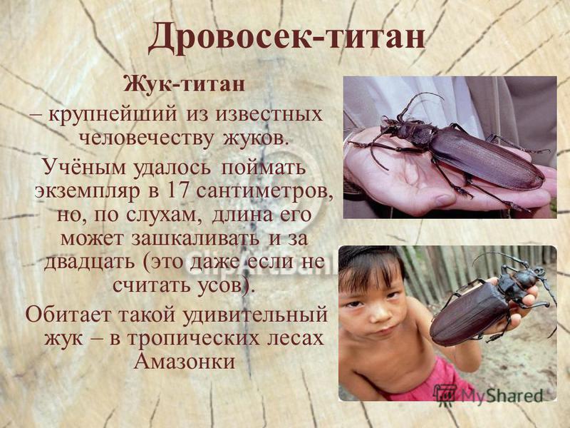 Дровосек-титан Жук-титан – крупнейший из известных человечеству жуков. Учёным удалось поймать экземпляр в 17 сантиметров, но, по слухам, длина его может зашкаливать и за двадцать (это даже если не считать усов). Обитает такой удивительный жук – в тро