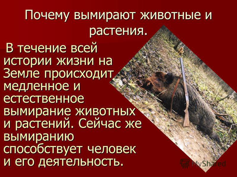 Почему вымирают животные и растения. В течение всей истории жизни на Земле происходит медленное и естественное вымирание животных и растений. Сейчас же вымиранию способствует человек и его деятельность. В течение всей истории жизни на Земле происходи