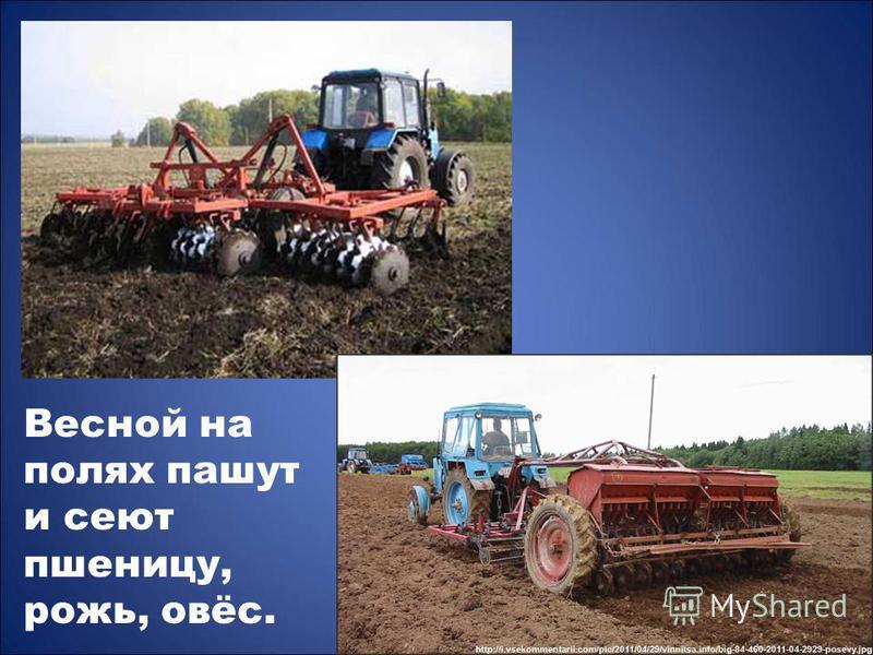 Весной на полях пашут и сеют пшеницу, рожь, овёс.