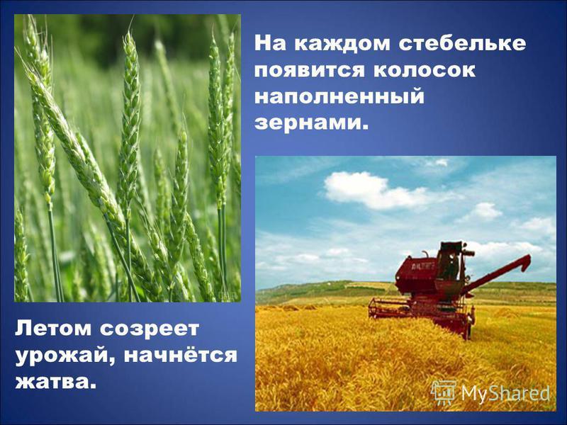 На каждом стебельке появится колосок наполненный зернами. Летом созреет урожай, начнётся жатва.