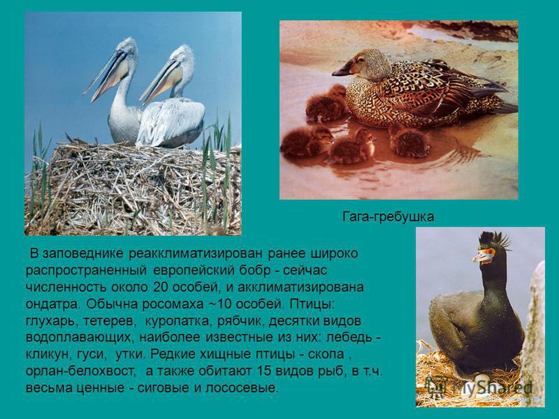 Гага-гребешка В заповеднике реакклиматизирован ранее широко распространенный европейский бобр - сейчас численность около 20 особей, и акклиматизирована ондатра. Обычна росомаха ~10 особей. Птицы: глухарь, тетерев, куропатка, рябчик, десятки видов вод