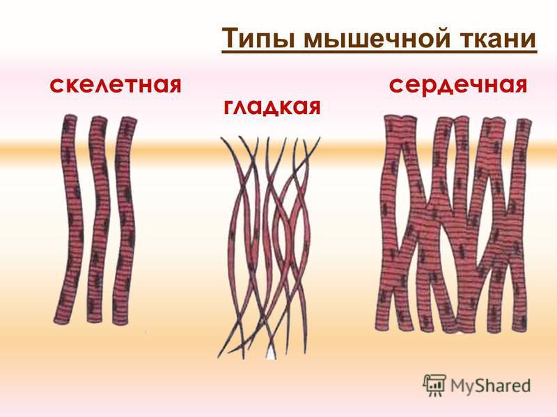 Типы мышечной ткани скелетная гладкая сердечная