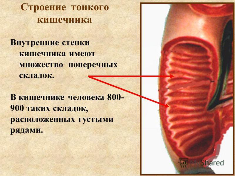 Строение тонкого кишечника Внутренние стенки кишечника имеют множество поперечных складок. В кишечнике человека 800- 900 таких складок, расположенных густыми рядами.